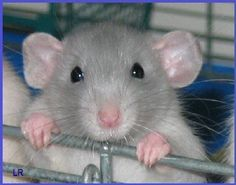 you must admit - you cannot resist that little face    Google Image Result for http://3.bp.blogspot.com/-fJMvwL_ioZU/T5qj4Mx2mHI/AAAAAAABUls/j9u_wjREkL0/s1600/facts-about-rats.jpg