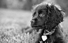 Collier de chien Caniche