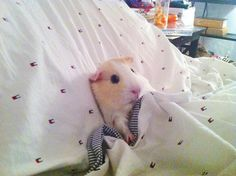This dude who understands how hard it is to get out of bed in the morning. | 26 Guinea Pigs Who Will Make You Smile The Most