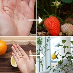 Regrow fruit from scraps via Tasty Vegetarian 🍓!How To Regrow Fruit From Your Kitchen INSTRUCTIONS: http:& Regrow fruit from scraps via Tasty Vegetarian 🍓!How To Regrow Fruit From Your … Fruit Plants, Fruit Garden, Indoor Fruit Trees, Dwarf Fruit Trees, Herbs Garden, Edible Garden, Garden Crafts, Garden Projects, Farm Projects