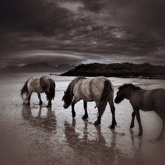 Horses on the Isle of Muck, Scotland | Flickr - Photo Sharing!