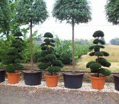 Ilex crenata, Japanese holly bonsai
