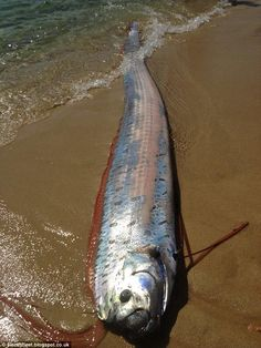 A rare 20 ft. Oarfish: The deep sea creature which has rarely - if ever - been seen alive, washed ashore in Cabo San Lucas on Friday