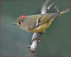 Ruby-crowned Kinglet  by Roy Brown Photography, via Flickr