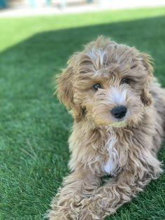14 Best Vegas Born Doodles Mini Goldendoodles Images