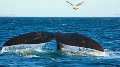 A few years ago, researchers working with southern right whales breeding off Argentina revealed that the hefty cetaceans were being viciously attacked by g Ushuaia, Sea Elephant, Ocean Pollution, Ocean Life, A Team, Mammals, Shark, Whales, The Incredibles
