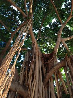 Banyan tree Waikiki beach Waikiki Beach, Hawaii Travel, Vacation Trips, To Go, Trees, Memories, Spaces, Memoirs, Souvenirs