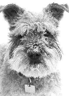 """""""*Jag*"""" ---- [Schnauzer]~[Photograph by AdrianGon (Adrian Gonzales) - February 4 2011]'h4d'121115"""