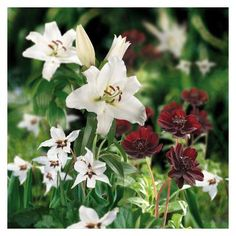 Scented Collection - Burgundy and White - 20 pack