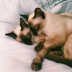 Siamese are the sweetest cats. Disney™ is evil for making people believe otherwise. Lady & The Tramp™ is worth crap because of the creation of a stereotype so evil that it ruined the reputation of the Siamese breed.