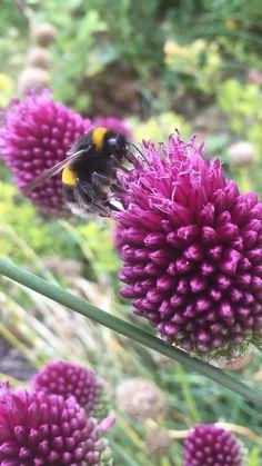 #purple #purpleflower #alliums #pollinators #cottagegardenideas #englishgarden #bumblebee #bees #naturephotographyflowers #naturephoto #nature