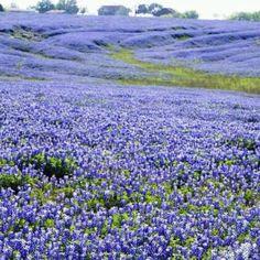 Texas Bluebonnets....Beautiful!