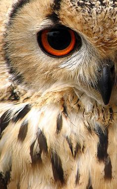 half owl face close up - Google Search