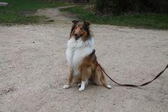 Marvel, chien Colley à poil long