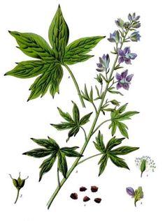 Botanical Drawings | botanical illustration of the larkspur/delphinium