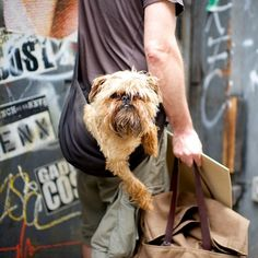 Phineus, Brussels Griffon, 17th & 6th Ave, New York, NY//the dogist
