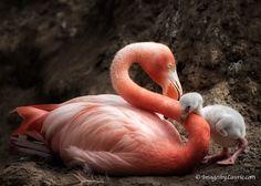 Flamingo mom and baby (Laurie Rubin Shupp's Photography Blog)