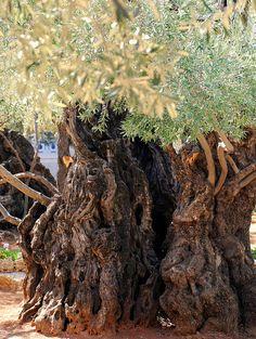 Olive Tree in the Garden of Gethsemane ~ Jerusalem, Israel