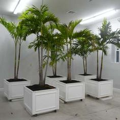 PVC planter boxes on wheels with palm trees growing out