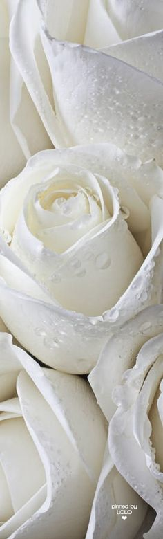 White Roses from: Ana Rosa Love Rose, Pretty Flowers, White Flowers, White Roses Background, Rosen Beet, Deco Floral, White Aesthetic, Shades Of White, Pure White