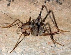 Cave Cricket aka Camel Cricket | Phylum: Arthropoda / Class: Insecta / Order: Orthoptera / Superfamily: Rhaphidophoroidea [Walker], 1869 / Family: Rhaphidophoridae