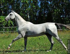 Akhal-teke horses for sale - Kaitag-Shael(Gayaz - Almagul 3)