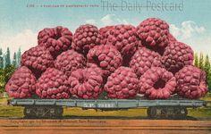 The Daily Postcard: Giant Raspberries--just raspberryshly
