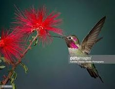 red hummingbird - Google Search Red Hummingbird, Google Search, Animals, Animales, Animaux, Animal, Animais