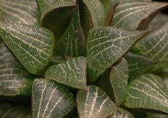 Haworthia emelyae var. comptoniana della famiglia delle Liliacee