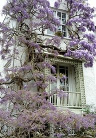 wisteria - beautiful, though maybe not good for the house exterior Beautiful Flowers, Beautiful Places, Beautiful Beautiful, Absolutely Stunning, Dream Garden, Garden Inspiration, Color Inspiration, Outdoor Gardens, Garden Design
