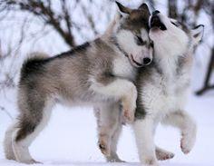 Beautiful eyes! Alaskan husky puppy Animals Pinterest