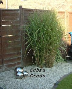 Zebra grass landscaping pinterest spreads summer for Landscaping with zebra grass