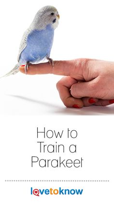 """Training a parakeet, or """"keet,"""" can be a fun and rewarding pastime, but you should understand from the beginning that success depends a lot on an individual keet's personality and how well the… Fancy Parakeet, Diy Parakeet Cage, Parakeet Names, Parakeet Colors, Parakeet Food, Blue Parakeet, Budgie Parakeet, Cockatiel, Baby Parakeets"""