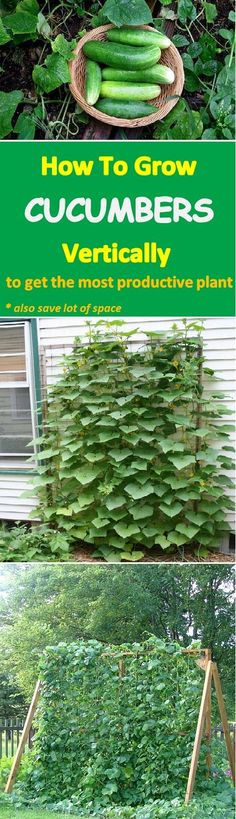 Learn how to grow cucumbers vertically to get the most productive plant