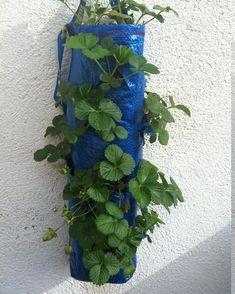cultivo de fresas en bolsa de rafia (tutorial)