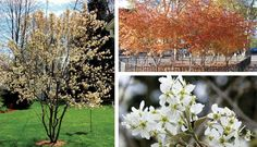 Serviceberry collage showing fall color and flower detail. The tree can come in multi stem form as shown here or single stem. It is native to Central Oregon so is very hardy. Landscaping Plants, Outdoor Landscaping, Garden Plants, Autumn Leaf Color, Autumn Leaves, Small Ornamental Trees, White Springs, Spring Flowers, Shrubs