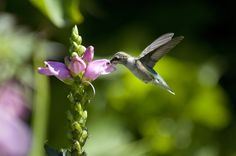 What kind of plants do you have in your garden that attracts hummingbirds and other pollinators? chicagobotanic
