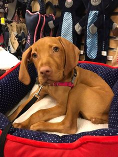 Vizsla Puppies, Weimaraner, Cute Puppies, Dogs And Puppies, Vizsla Dog, Dog Id, Puppy Care, Beautiful Dogs, Beautiful Gorgeous
