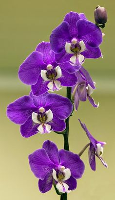 Moth-Orchid, Phalaenopsis Hilo Lip 'Catnip Beautiful Bouquet Of Flowers, All Things Purple, Favorite Color, Flower Beds, Orchids, Seeds, Vegetables, Healthy, Garden