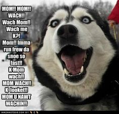 Funny Pictures of Husky Dogs Cute Husky, My Husky, Husky Puppy, Funny Husky, Husky Humor, Dog Humor, Funny Dogs, Funny Animals, Cute Animals