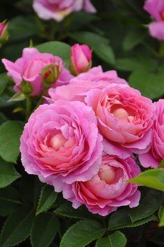 'Fragonard' | Hybrid Tea Rose. Delbard (France 2011)