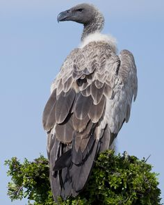 https://pixfeeds.com/images/28/569326/1200-453502101-white-backed-vulture.jpg