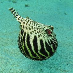 Puffer fish :: Yacht parts & Watermakers :: http://www.seatechmarineproducts.com