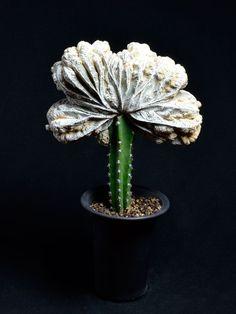 Cacti And Succulents, Planting Succulents, Cactus Plants, Grafted Cactus, Mini Cactus, Flower Pots, Flowers, Green Plants, Trees To Plant