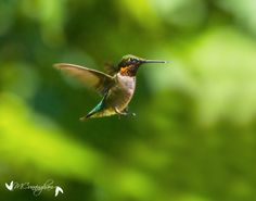 August is Hummingbird Month at Land Between The Lakes  https://flic.kr/p/uRqpjR | Hummingbird at Nature Station | Photo credit, Melodie Cunningham