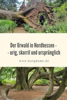 Der Urwald im Reinhardswald in Nordhessen ist ein einmaliges Naturerlebnis. Die Bäume sind alt und riesig, die alten Wurzeln erinnern an eine Fantasywelt und wirken bedrohlich. So ein Naturerlebnis wie im Urwald im Reinhardswald findest Du nirgendwo sonst.   #hessen #nordhessen #urwald #reinhardswald #sababurg