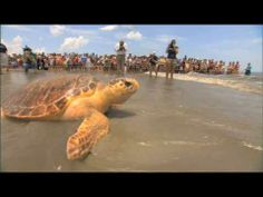 georgia sea turtle center jekyll island | curated content from youtube #jekyllclubsummer
