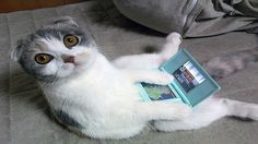 The Scottish Fold is the most well-known folded ear cat. Folded ear cats were originally called as lop-eared named after the lop-eared rabbit. Cats in Care. Funny Cat Fails, Funny Cat Compilation, Funny Cat Videos, Funny Cats, Funny Animals, Cute Animals, Funny Jokes, Funniest Animals, Pet Videos