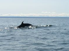 Whales in Tadoussac, Quebec Whales, Quebec, Canada, Vacation, Nature, Animals, Vacations, Naturaleza, Animales