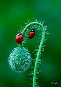 Two ladybugs and a poppy - Beauty in the Details  IMAGES, GIF, ANIMATED GIF, WALLPAPER, STICKER FOR WHATSAPP & FACEBOOK